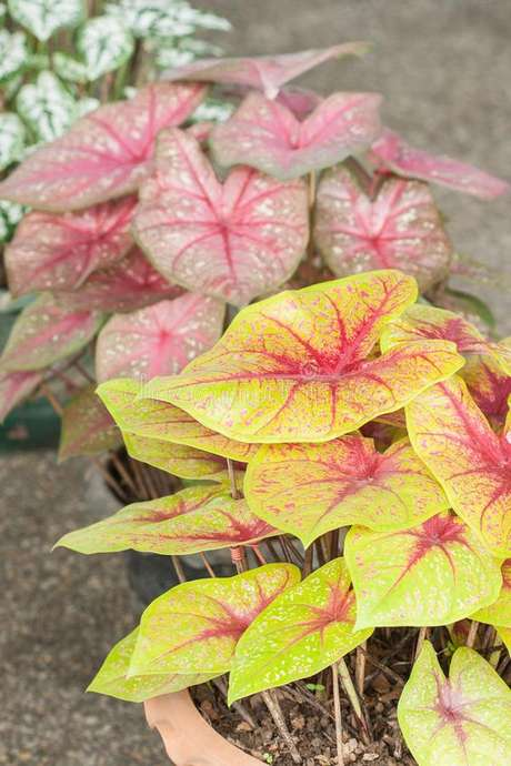 16. Vasos de caladium em amarelo e rosa – Foto Dreamstime Stock Photos