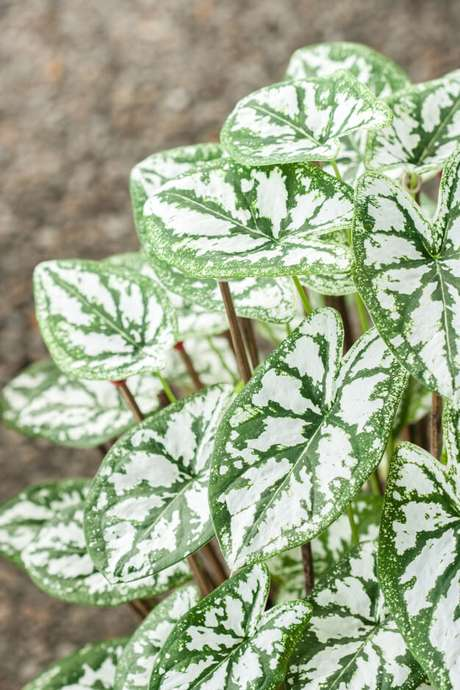 13. Caladium branca para jardim moderno – Foto Dreamstime