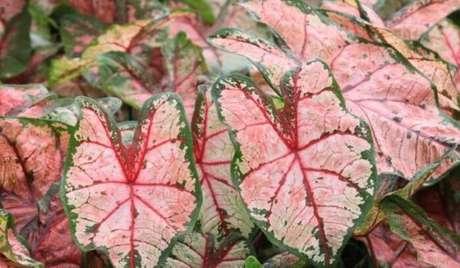 19. Planta caladio para jardim – Foto Faz facil