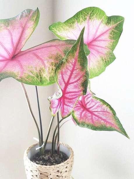 15. Vaso pequeno com caladium rosa e verde – Foto Pinterest