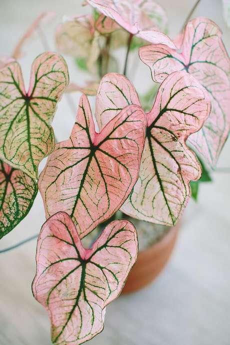 1. Caladium na decoração charmosa – Foto Wild Flora Design