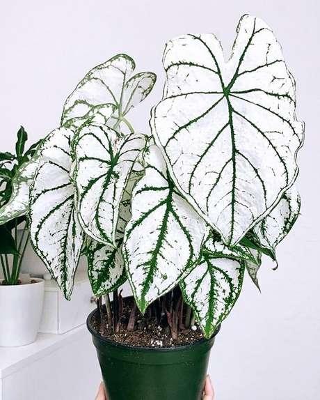 8. Vaso para decoração com caladium – Foto Pinterest