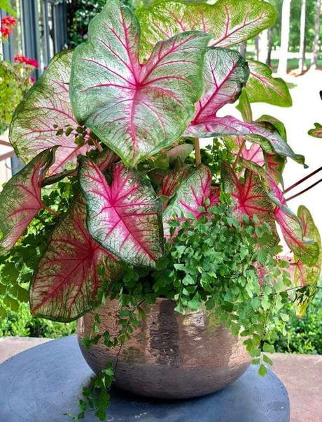 32. Caladio rosa e verde no vaso – Foto Carmen John Ston Gardens