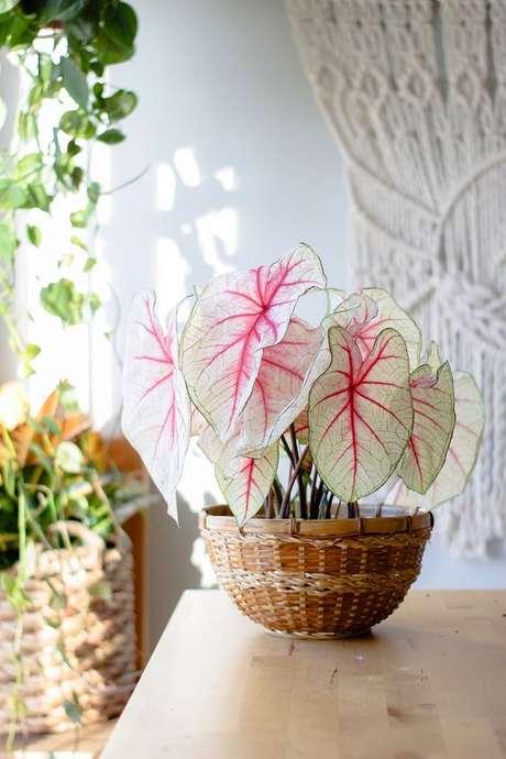 4. Vaso de planta Caladium bicolor – Foto Pinterest