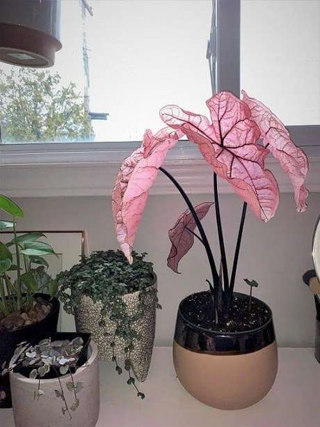 33. Caladium rosa na janela – Foto Balcony Garden Web