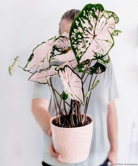 43. Vaso com caladio rosa e verde – Foto Detente Jardin