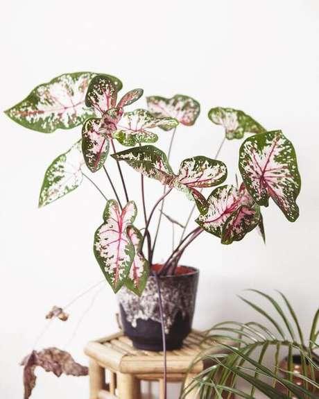 31. Caladium verde e rosa na decoração da sala – Foto Mama Botanica