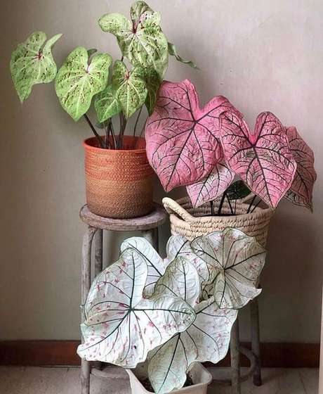 18. Vasos de plantas com caladium de diferentes espécies – Foto Reddit