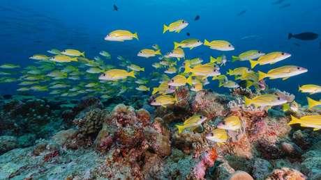 Larvas de peixes se orientam a partir dos sons emitidos pelos corais quando buscam um local para se fixar