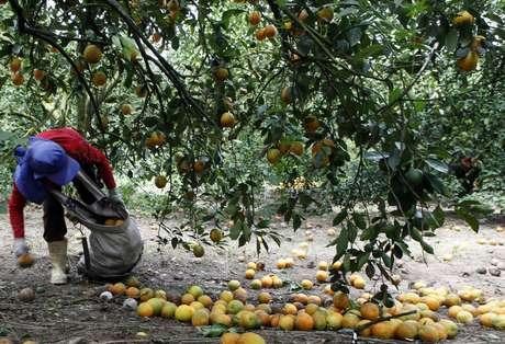 Colheita de laranja em Limeira (SP)  13/01/2012 REUTERS/Paulo Whitaker