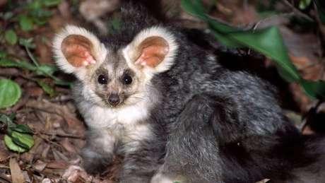 O grande planador é um marsupial solitário, que mora em árvores, com orelhas peludas e olhos redondos