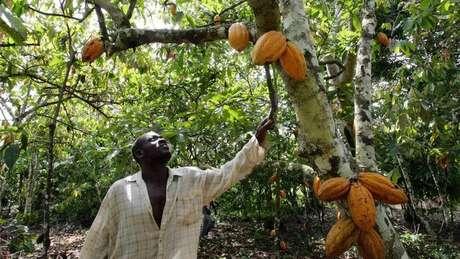 O chocolate começa a sua vida nas sementes em forma de bola de futebol americano da árvore Theobroma