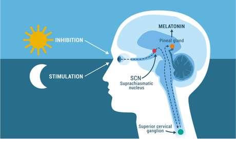 Glândula pineal: entenda sua importância ao nosso bem estar