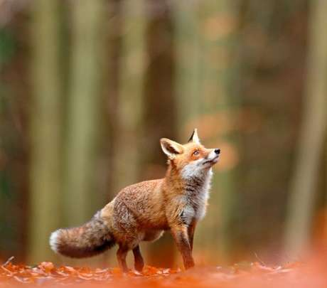 Inteligência e astúcia são algumas palavras usadas para definir as raposas./ Shutterstock.