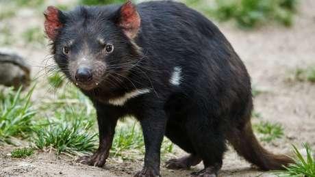 O demônio da Tasmânia é vítima de uma forma particular de câncer, transmissível de um indivíduo para outro
