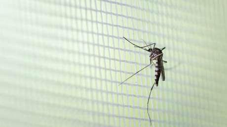 Método tem grande potencial contra outras doenças transmitidas pelo mosquito, como zika, febre amarela e febre chicungunha