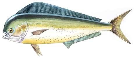 Os dourados-do-mar também são conhecidos como mahi-mahi: 'além de prover minha alimentação, me faziam companhia'