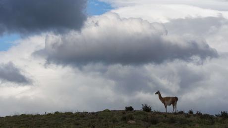 Os guanacos, 'primos das lhamas', fazem parte da fauna do Parque Nacional da Patagônia.