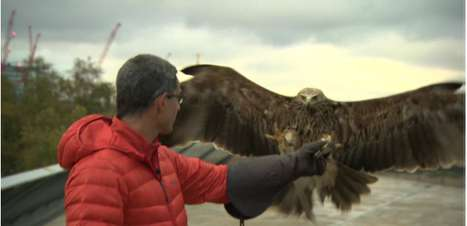 Especialistas estudam treinar aves para derrubar drones