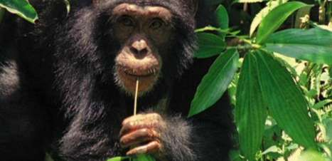 Chimpanzés são capazes de cozinhar, diz pesquisa de Harvard