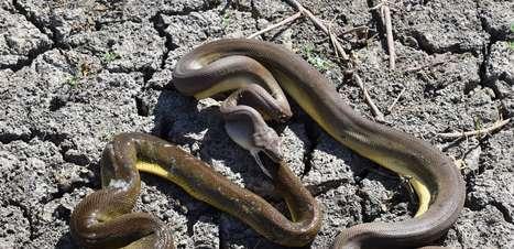 """Cobra píton engole e depois """"vomita"""" serpente da mesma espécie"""