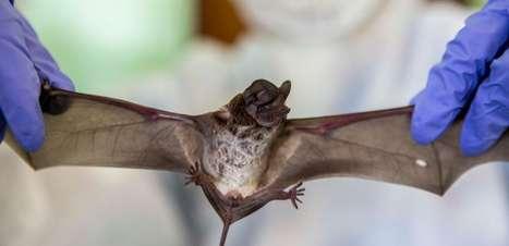 Cientistas encontram novas evidências sobre origem do coronavírus nos morcegos