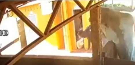 Idoso vai parar na UTI após ser derrubado por boi; assista!