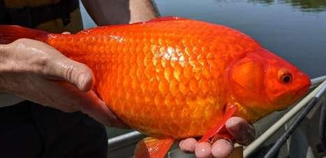 Peixinhos dourados rejeitados se transformam em 'monstros' em lago e geram alerta nos EUA