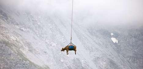 Vacas são transportadas de helicóptero e viram atração