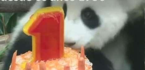 Filhote de panda ganha festa de aniversário na Malásia