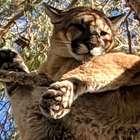 """Bombeiros resgatam """"gato gigante"""" de árvore na Califórnia"""