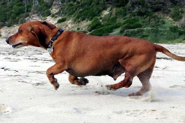 70 kilogram dachshund pierde greutate