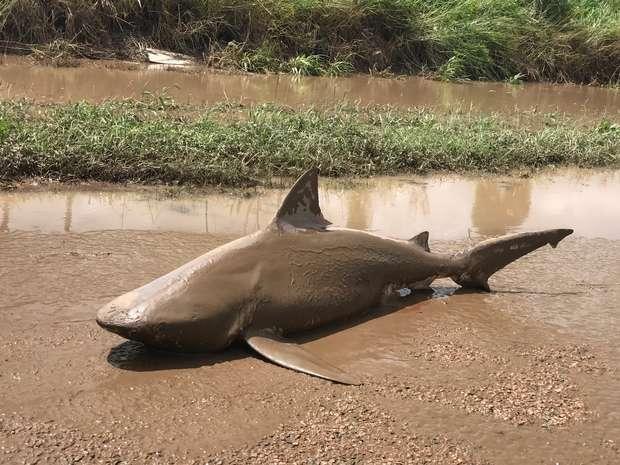 En esta imagen del 30 de marzo cortesía de la paramédico del estado de Queensland Lisa Smith, se ve un tiburón varado a causa de las inundaciones en Ayr, el noreste de Australia. Un potente ciclón que azotó la tropical costa noreste de Australia, dejó la zona repleta de árboles caídos, techos desprendidos y un desafortunado tiburón. Smith dijo que evaluaba el nivel de la inundación el jueves en Isla Rita, una comunidad costera cercana a Ayr, que fue azotada por el Ciclón Debbie. Cuando llegó a la orilla de una inundación que disminuía, vio algo inusual en tierra: un tiburón toro.