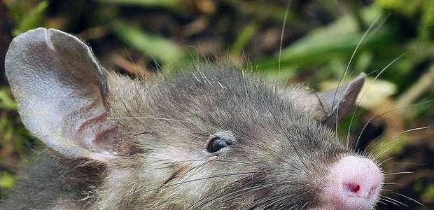 Extraña rata con nariz de cerdo es descubierta en Indonesia