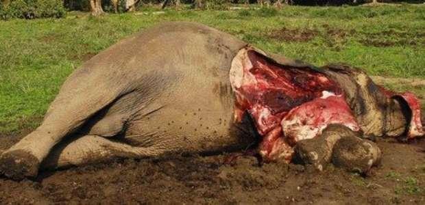 Mueren envenenados 40 elefantes en el parque del león Cecil