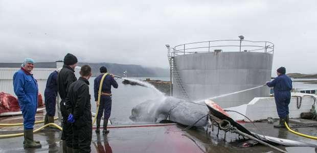 Japón retomará la caza de ballenas en Océano Antártico ...