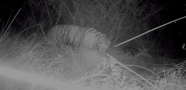 Cámaras constatan que tigre aún acecha en Guerrero