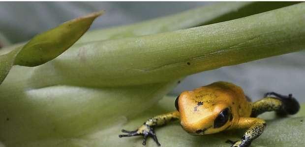 Encuentran a la primera rana fluorescente en el mundo