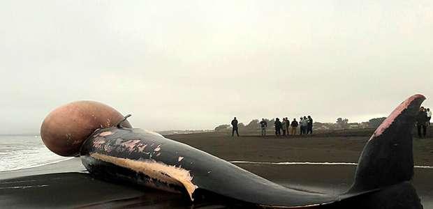 Armada enterró la ballena que varó muerta en la playa de ...