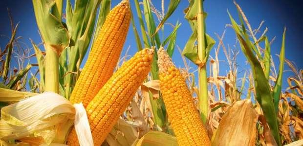Conab enviará mais 59,45 mil toneladas de milho para ...