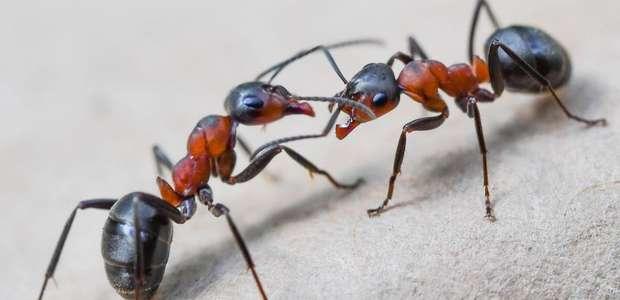 Substância da picada da formiga é transformada em ...