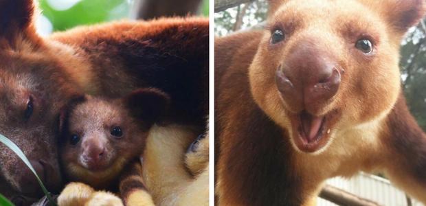 Estamos apaixonados por essa espécie rara de marsupial: ...