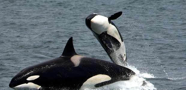 Orcas do Pacífico estão morrendo de fome
