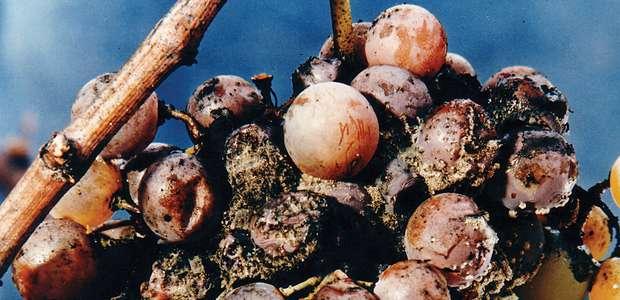 Botrytis cinerea: o fungo do bem