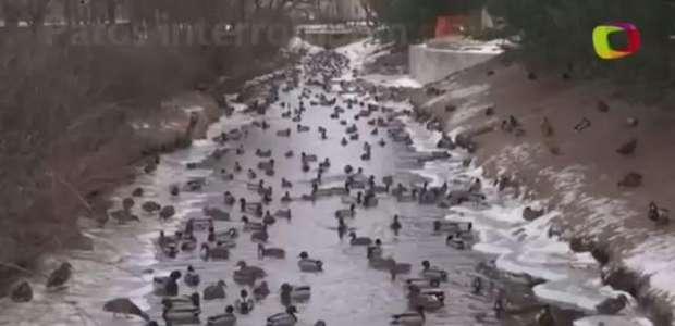 Frio extremo faz patos interromperem migração na Rússia