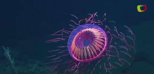 Rara água-viva semelhante a fogos de artifício surge no mar