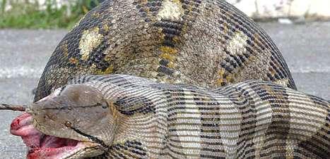 Qual o maior animal que uma cobra pode comer? Veja flagras