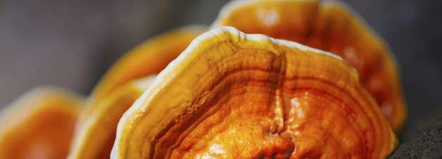 Cogumelo pode prevenir obesidade, diz estudo