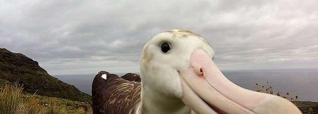 O rato gigante que ameaça de extinção espécie de albatroz