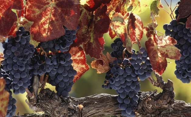 Por ritual antigo, enófilo quer fazer colheita de uvas nu durante lua cheia